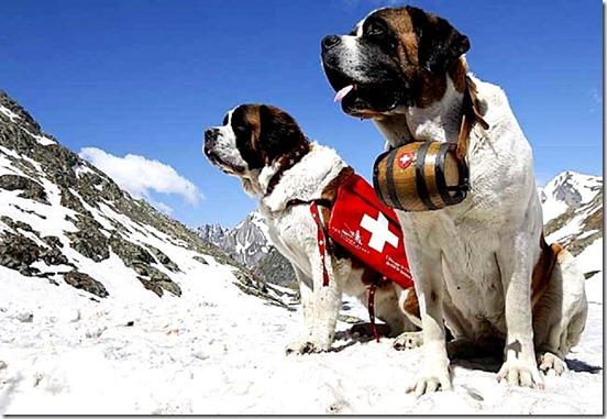 Two Saint Bernard dogs sit in the snow on the Great St. Bernard Pass after returning from their winter quarters in Martigny, Switzerland, Thursday, June 4, 2009. The dogs will spend the summer on the pass and return to Martigny towards the end of the year. (AP Photo/KEYSTONE/Jean-Christophe Bott)